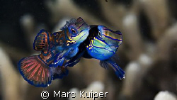 mating mandarinfish--look under the belly of female--ther... by Marc Kuiper 